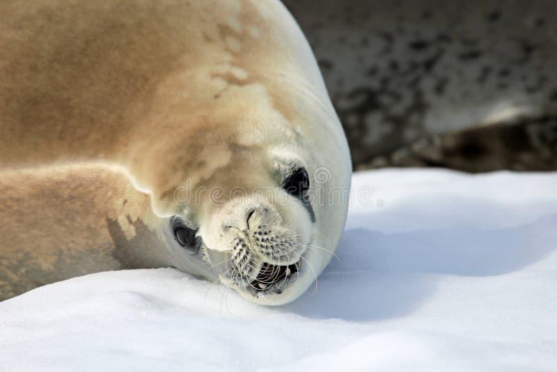 在冰川,南极半岛的食蟹动物封印 库存图片