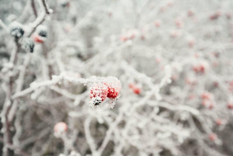 在冰晶下的玫瑰果 免版税图库摄影