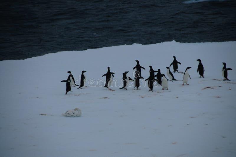 在冰架的Adelie企鹅在威德尔海 免版税图库摄影