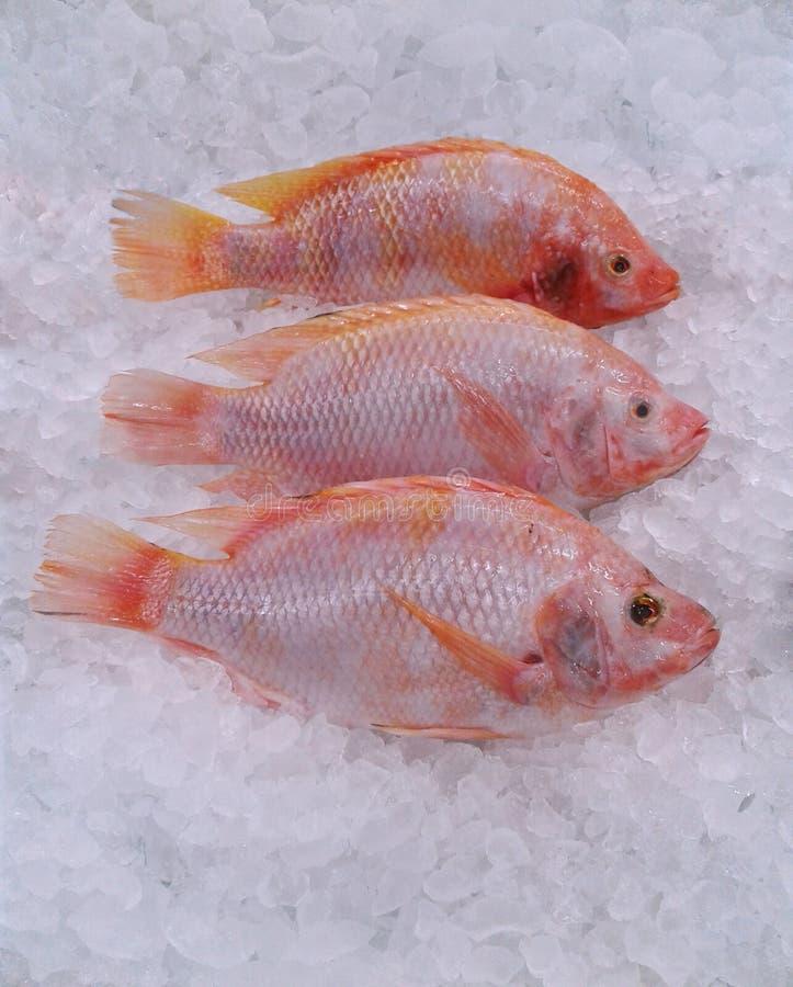 在冰桶的特写镜头新鲜的红色鱼 食物 免版税图库摄影