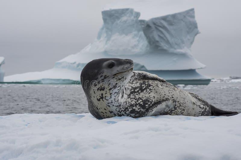 在冰流程的豹子封印 库存图片