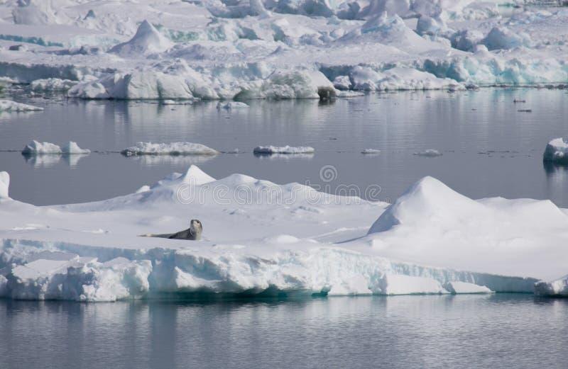 在冰浮游物南极州声音的豹子封印 免版税库存照片