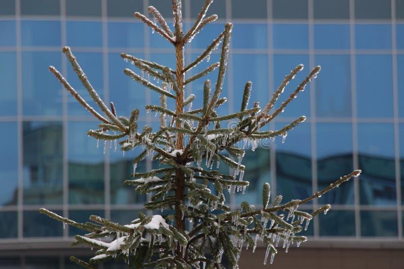 在冰的云杉 免版税图库摄影