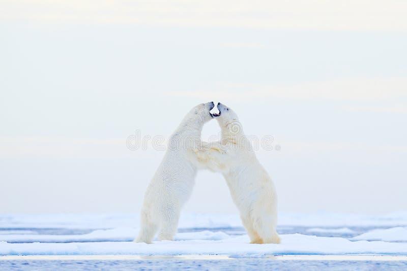 在冰的北极熊跳舞 两头北极熊在与雪,白色动物的流冰爱在自然栖所,斯瓦尔巴特群岛, 免版税库存照片