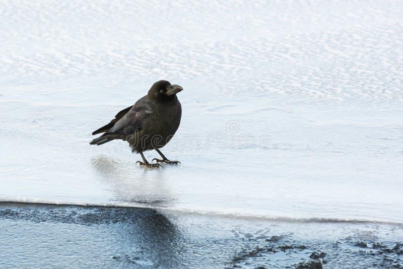 在冰的大开帐单的乌鸦 免版税库存照片