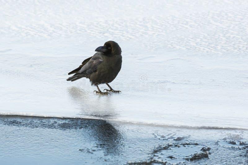 在冰的密林乌鸦 库存照片