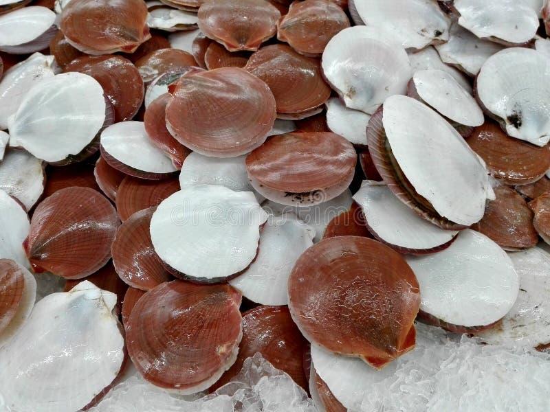 在冰的新鲜的扇贝 库存照片