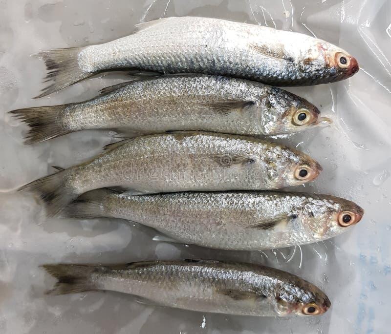 在冰的未加工的未煮过的鱼 免版税库存图片