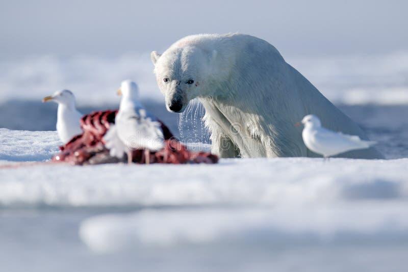 在冰的浮出水面的危险北极熊与封印尸体 库存照片