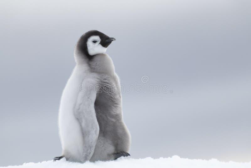 在冰的皇企鹅小鸡 免版税库存图片
