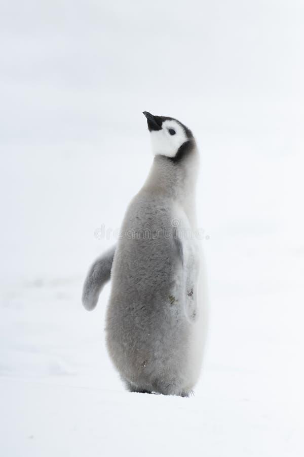在冰的皇企鹅小鸡 免版税库存照片