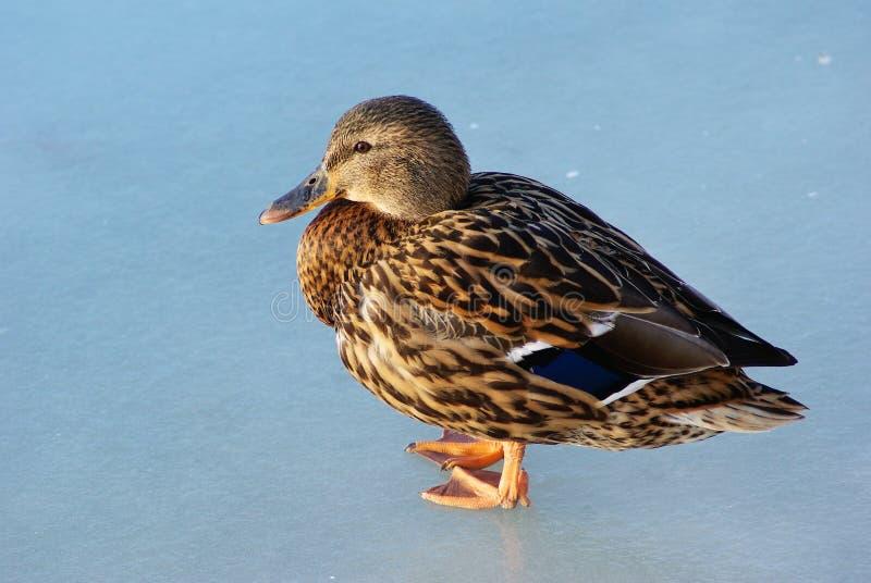 在冰的野鸭鸭子 免版税库存照片