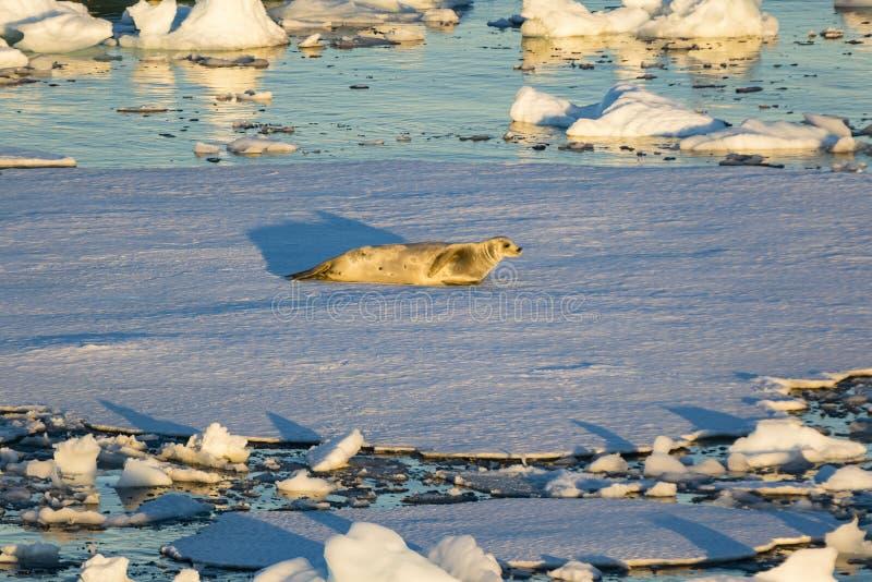 在冰的食蟹动物封印搁置 免版税图库摄影