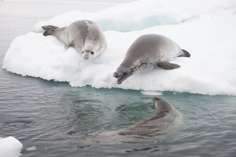 在冰的食蟹动物封印 免版税库存照片