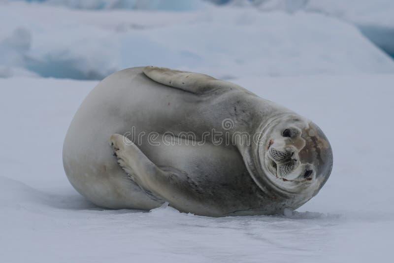 在冰的食蟹动物封印 库存图片