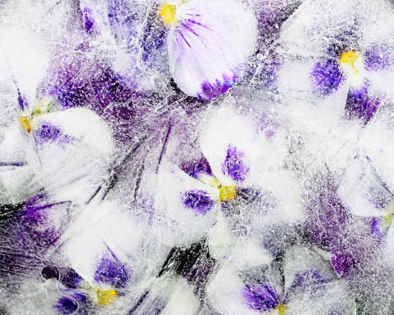 在冰的蝴蝶花花 免版税库存图片