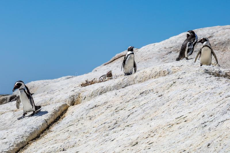在冰砾海滩,南非的企鹅 免版税库存照片