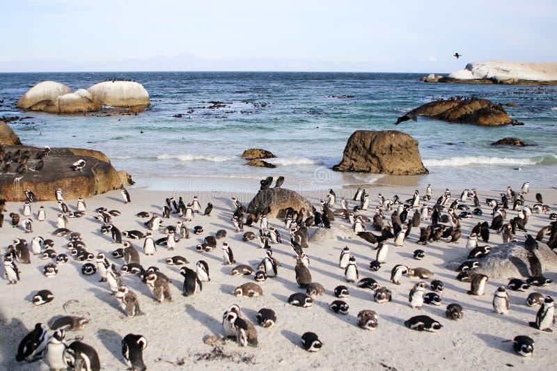 在冰砾的非洲企鹅在开普敦,南非附近靠岸 免版税库存照片