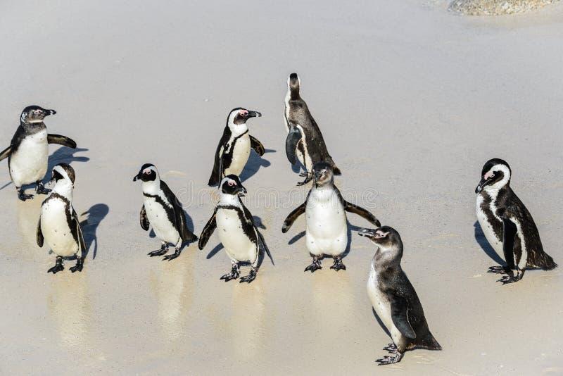 在冰砾的非洲企鹅在西蒙` s镇,南非靠岸 库存图片