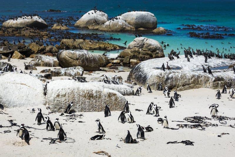 在冰砾的非洲企鹅靠岸,开普敦,南非 免版税库存照片