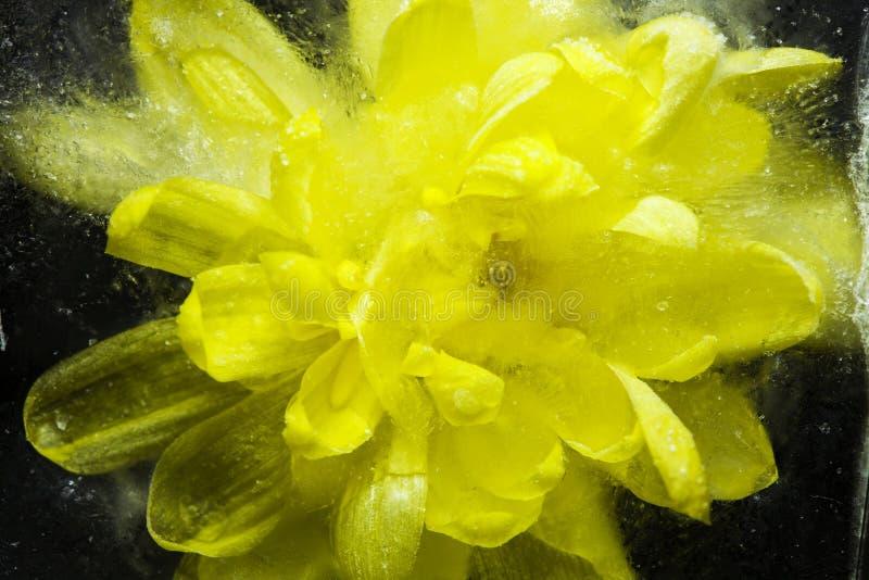 在冰结冰的美丽的黄色花 免版税库存照片
