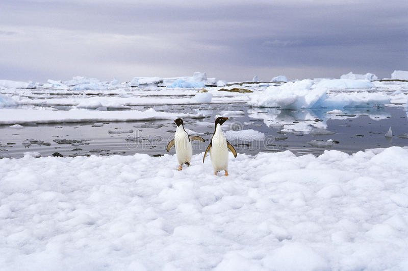 在冰,南极洲的Adelie企鹅