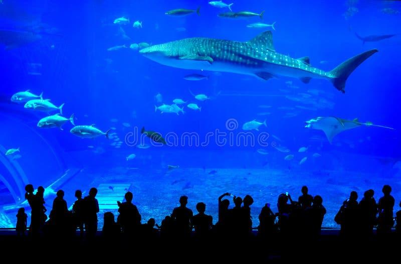 在冲绳岛Churaumi水族馆的鲸鲨在日本 免版税库存照片