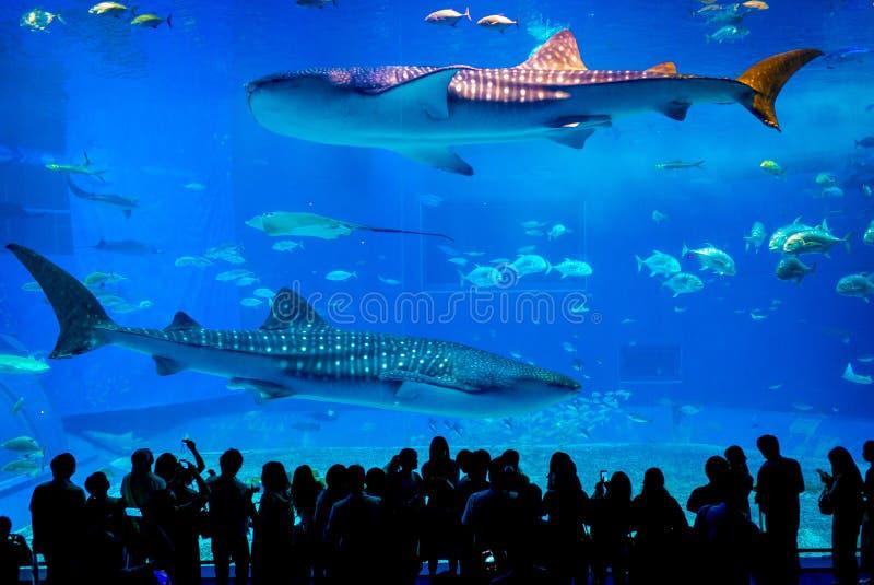 在冲绳岛Churaumi水族馆的黑潮海主油箱 库存图片