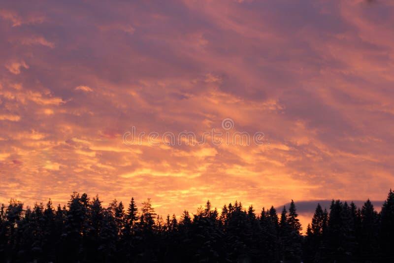 在冷杉的桃红色天空 免版税库存图片