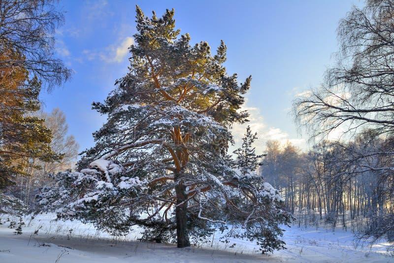 在冻森林的冬天晴朗的风景有大积雪的pi的 免版税库存照片