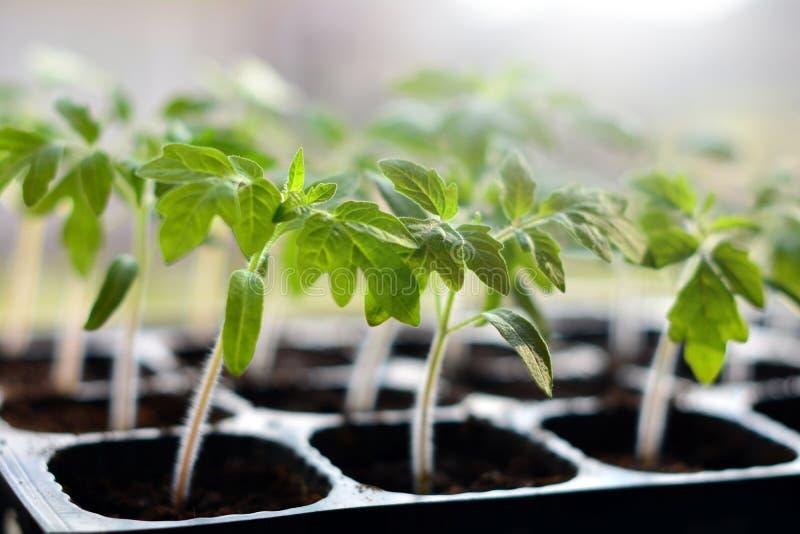 在准备好塑料的罐的蕃茄幼木种植 库存照片