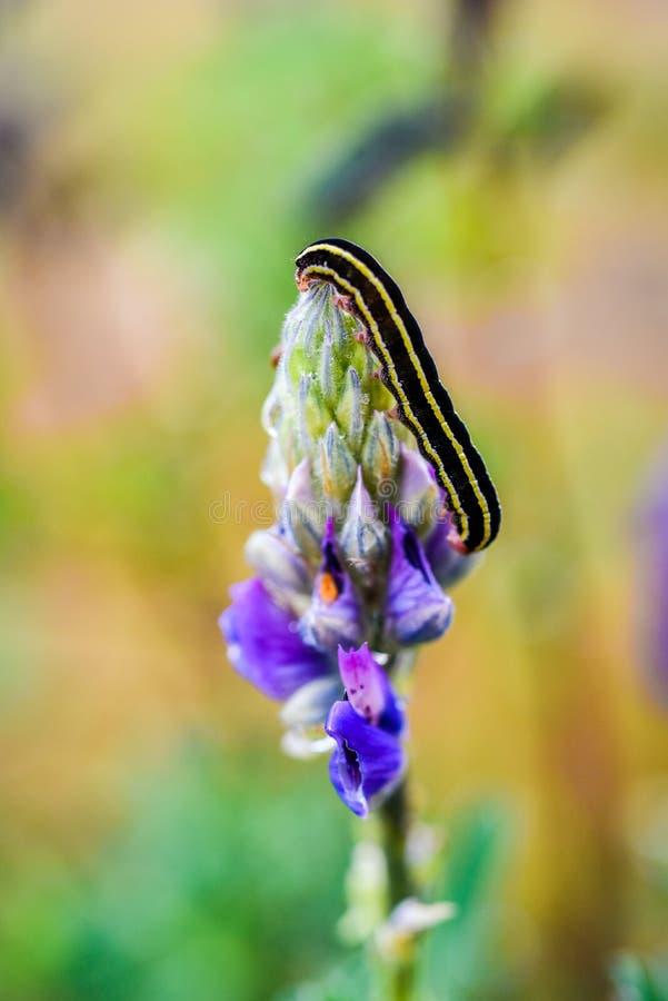 在凶猛花的千足虫,夏天雨季,冰岛 免版税库存照片
