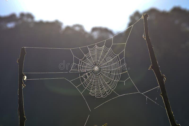 在分支之间的Spiderweb 澳洲 库存照片
