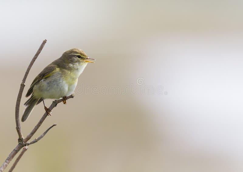 在分支和唱歌栖息的杨柳鸣鸟Phylloscopus trochilus 有美好的干净的褐色的背景 库存图片