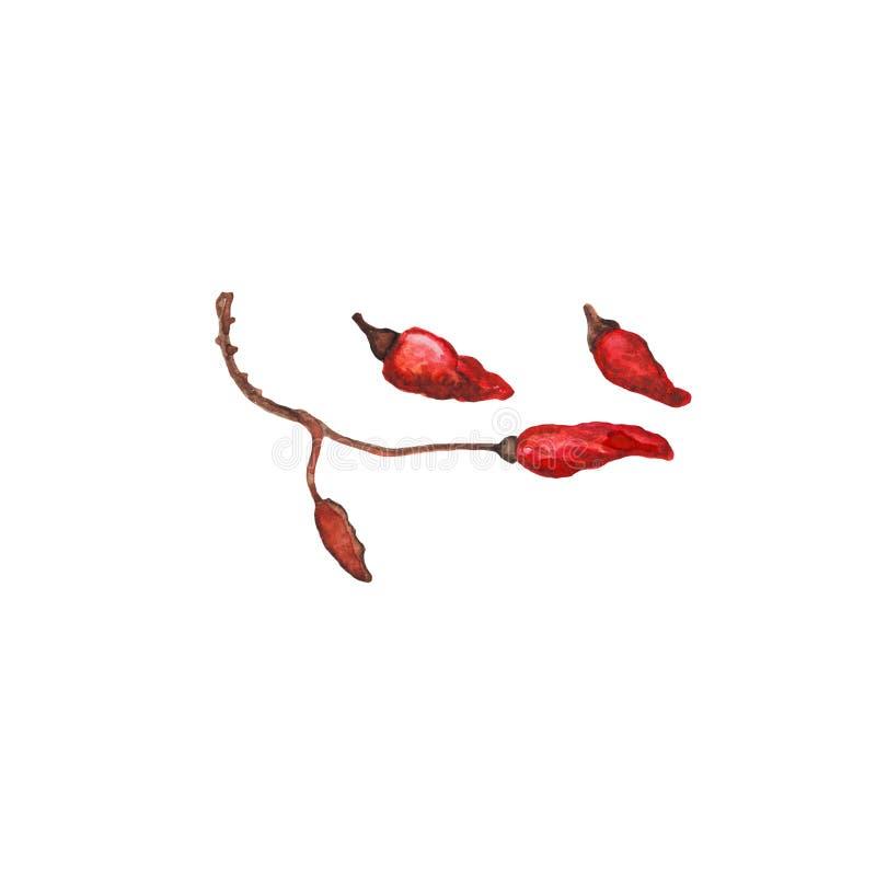 在分支手拉的例证的红辣椒 辣椒在白色背景的水彩绘画 向量例证