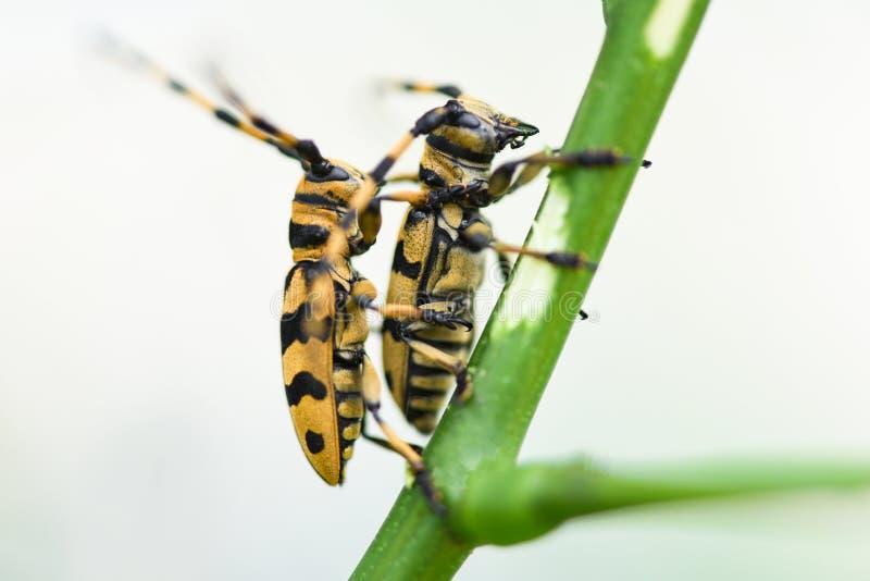 在分支树/关闭的长的垫铁甲虫黄色和黑甲虫 免版税库存图片