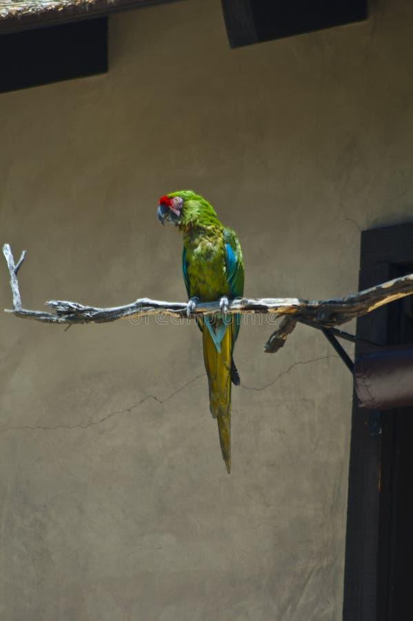 在分支栖息的伟大的绿色军事鹦鹉在LA动物园 库存照片