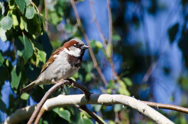 在分支栖息的公麻雀 免版税图库摄影