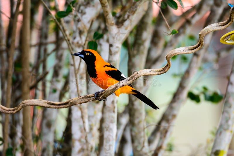 在分支栖息的橙色Troupial 库存图片