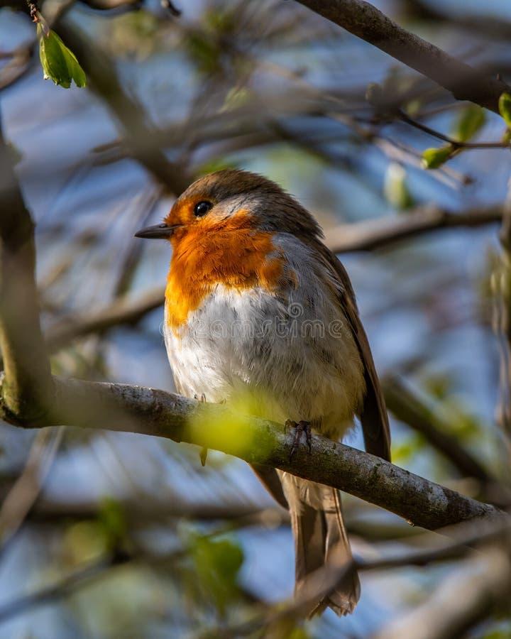在分支栖息的知更鸟 免版税库存图片