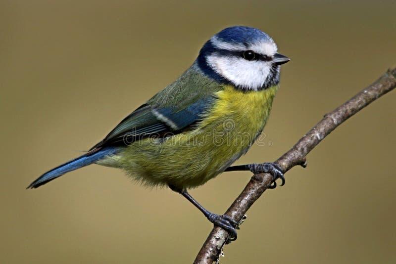 在分支栖息的蓝冠山雀鸟 免版税图库摄影