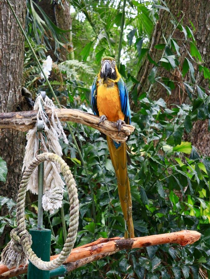 在分支栖息的蓝色和金金刚鹦鹉 免版税库存图片