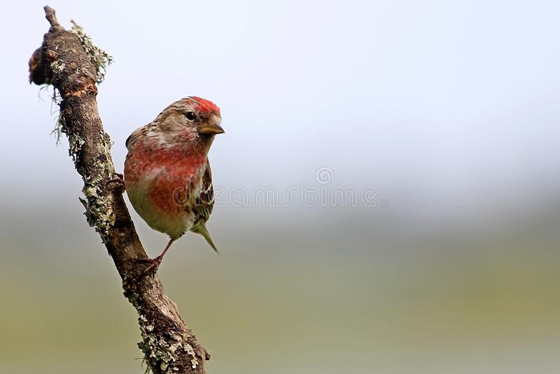 在分支栖息的金翅鸟 免版税库存图片
