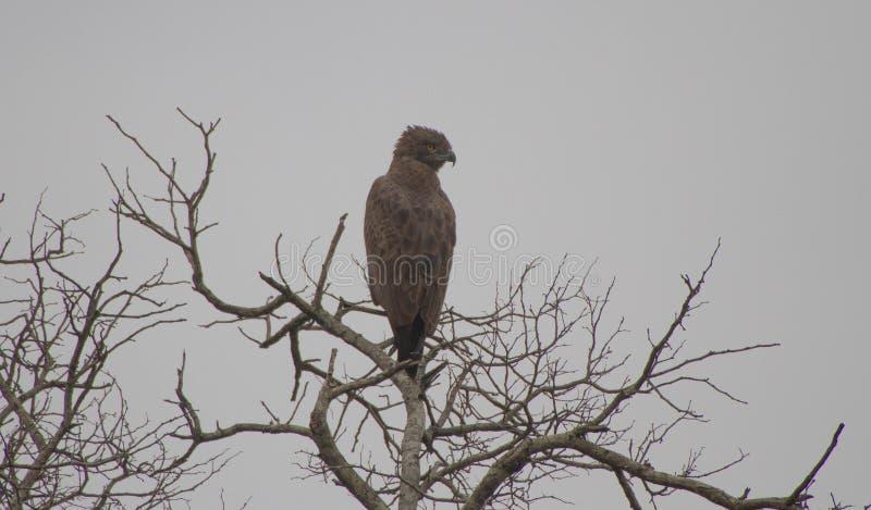 在分支的一只老鹰 库存照片