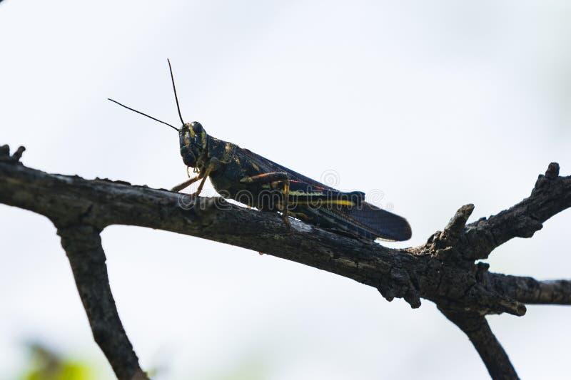 在分支的一只被绘的蝗虫蚂蚱 免版税库存图片