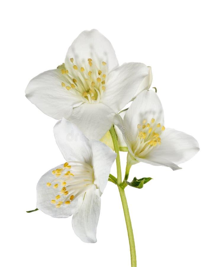 在分支的三朵白色茉莉属花 免版税库存照片