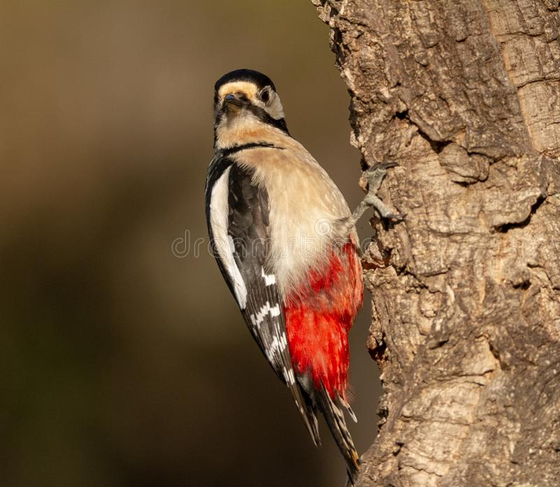 在分支的伟大的被察觉的啄木鸟 库存图片