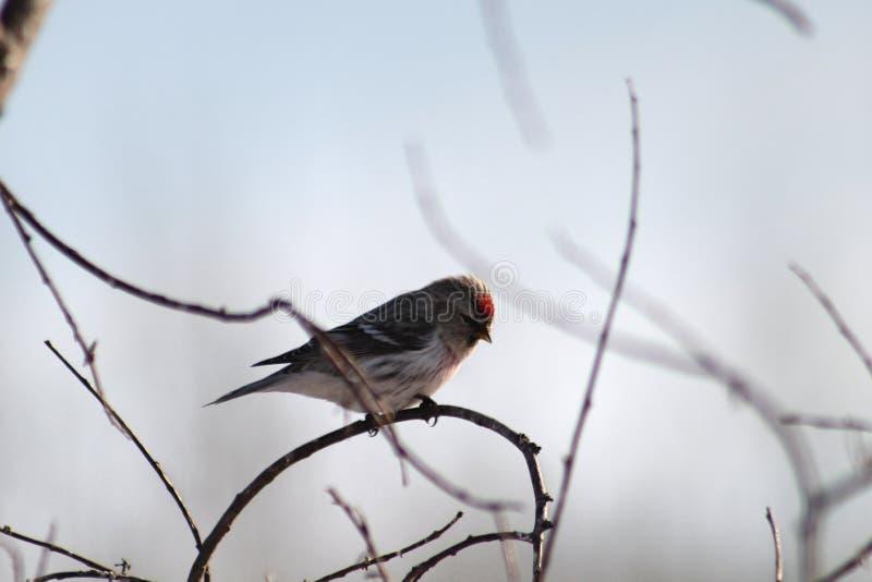 在分支的共同的红弱鸟 免版税库存照片