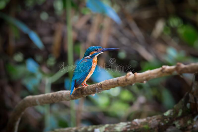 在分支的共同的翠鸟栖息处在Kaoyai的小河 免版税库存照片