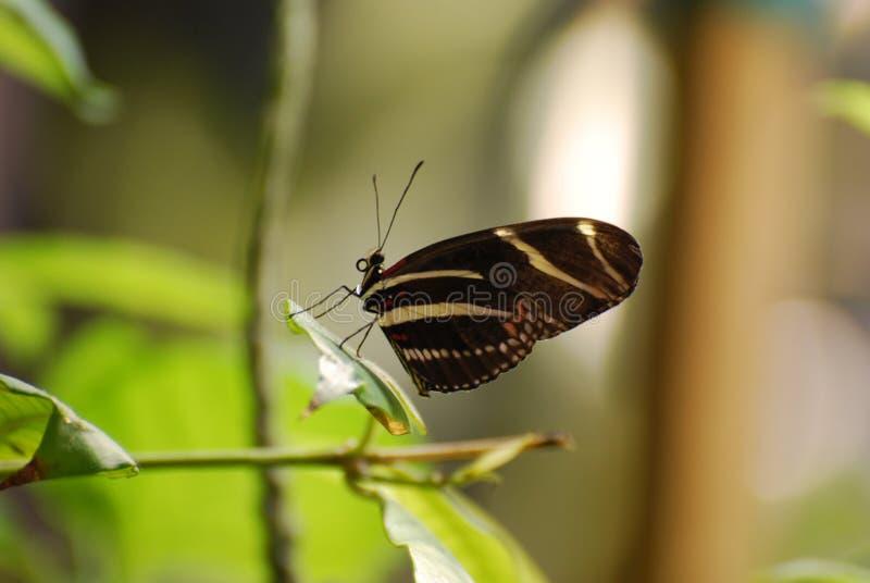 在分支的华美的黑白斑马蝴蝶 免版税库存图片